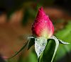 Bud of the Pink Rose