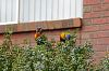 back door, front door - lorikeets & Rouletts
