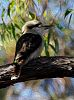 Kookaburra in Oils