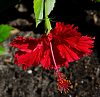 Real Red Hibiscus