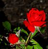 Red Rose with unfurling Bud