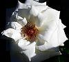 Delicate White Petals