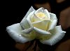 Perfect White Artic Rose