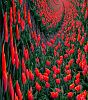 all red tulips go to heaven