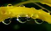 Yellow Bridge of Drops