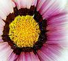 Pollen laden Gazania
