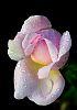 A Pastel Pink