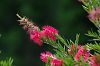 some pink bottlebrush