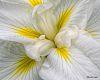 Japanese Iris Gardens