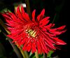 The Red Gerbera