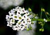 Micro white flowers