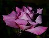 A Burst of Lilac