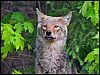 An Eastern Red Wolf