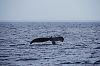 Humpback Whales in the Barents sea