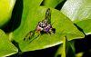 Pesky European Fruit Fly