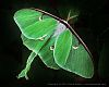 Luna Moth at Rest [Ricoh Giveaway Contest Entry]