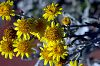 Yellow Smoke Bush Flowers......