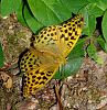 Silver-Washed Fritillary and White Admiral Butterflies