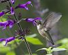 Immature Hummingbirds