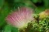 Mamosa Flower Macro lens comparisons