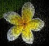 Frangipani blossom behind glass