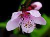 Fresh wet Nectarine Blossom