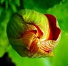 Large unfurling Bud