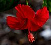 Another Gorgeous Red Hibiscus.