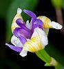 Unfurling Iris