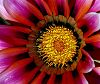 Another beautiful Gazania