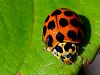 Big spotted Ladybird........