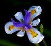 Shaded Iris