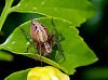 Small Brown Lynx Spider......
