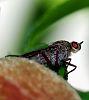 I am not a Fruit Fly!