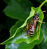 Prowling Paper Wasp
