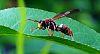 Wandering Paper Wasp