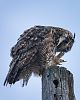 Great Horned Owl Picking His Beak
