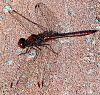 Small Maroon Dragonfly
