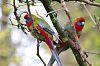 Juvenile Crimson Parrots