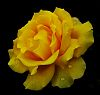 Not the Yellow Rose of Texas.......