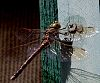 Resting Dragon Fly........