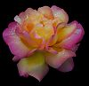 Rose all aglow.......