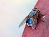 Blue tailed Fly