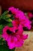 Hot Pink Geraniums.........