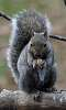 Resident Gray Squirrel