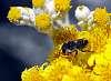 Black Australian Native Bee