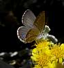 Small Brown Butterfly on Smokebush.....