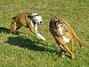 Boxers on the run
