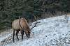 One Big Elk