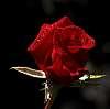 Splendid Red Bud................